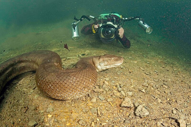 Brave Diver Swim With Deadly 8-Mt Anaconda!