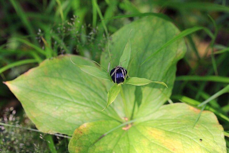 Ягода вороньего глаза четырёхлистного (лат. Paris quadrifolia)