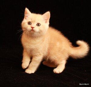 красный серебритсый мраморный британский короткошерстный кот