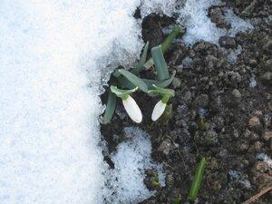 Весна пришла! Снежные капли галантусов. 29.03.2011г