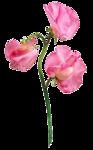 juno Sweet Pea Pink.png