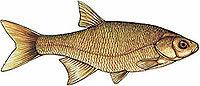 Орган боковой линии рыбы
