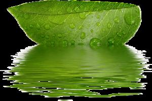лист лотоса