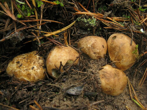 Ризопогон розоватый (Rhizopogon roseolus) Автор фото: Станислав Кривошеев