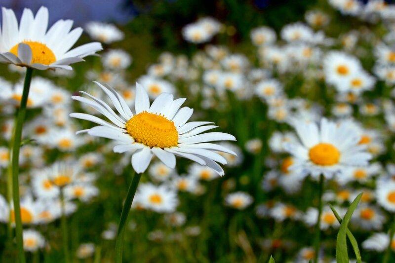 Картинки полевые цветы ромашка