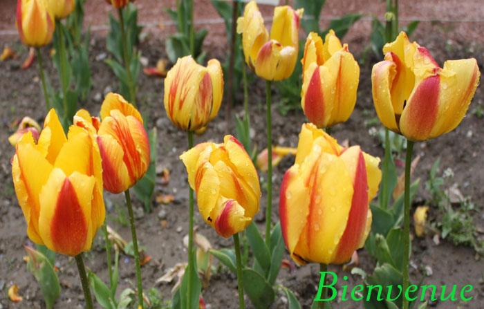 Бал тюльпанов Никитского сада