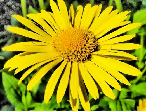 Желтые садовые цветы фото