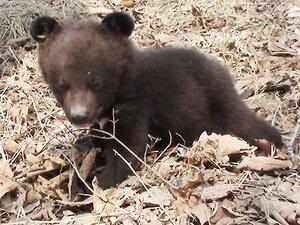 В зоопарк Владивостока на Садгороде подбросили двух медвежат