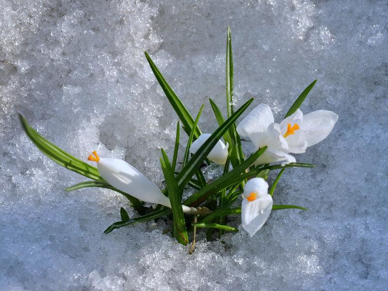 Белая поступь Весны