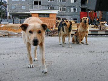 Очередная жертва собак