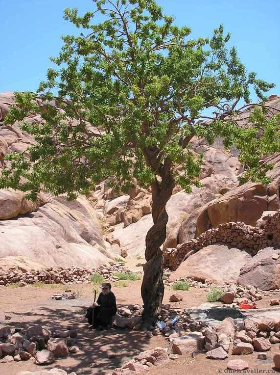 Необычное дерево в скиту прп. Григория Синаита на Синае
