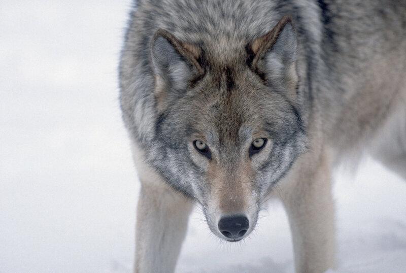 "Красивые фотографии волков (+текст) "" Картинки, фото, приколы, девушки - Votrube.ru"
