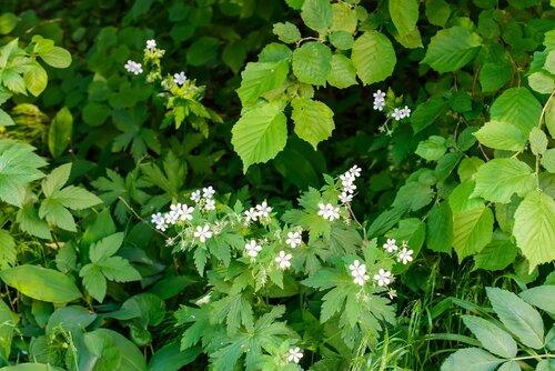 Герань лесная (Geranium sylvaticum) Автор: Вячеслав Степанов