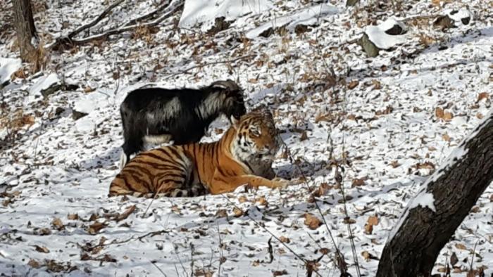Тигр Амур стал защищать своего друга - козла Тимура