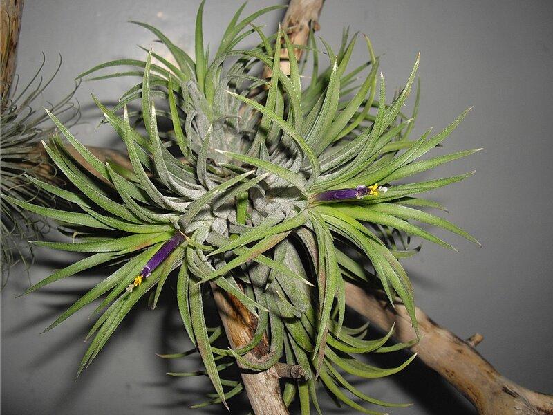 Тилландсия (испанский мох) - 15 Июля 2011 - Киевский Клуб Любителей Орхидей