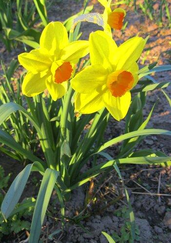 Нарциссы желтые