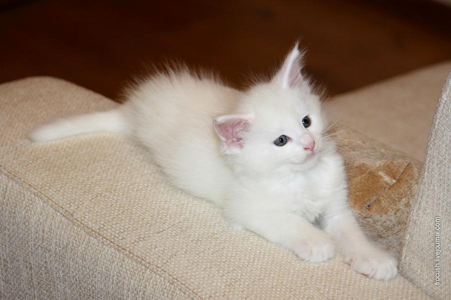 Шестинедельный котенок Дольф