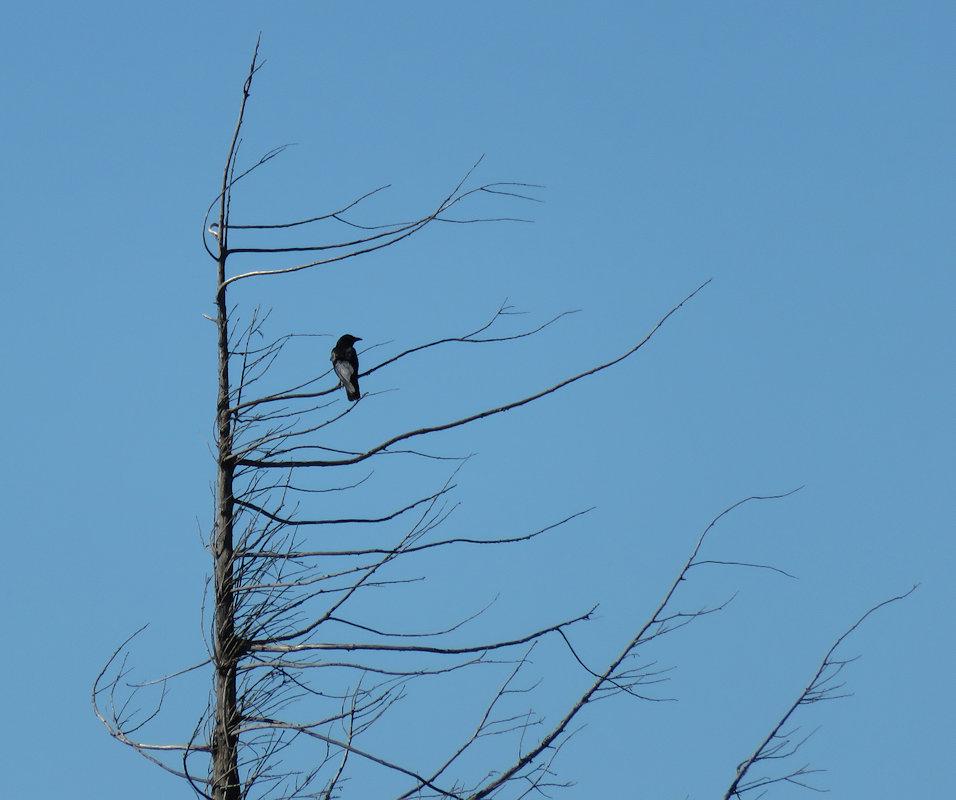 Там на суку сидит ворона :-)