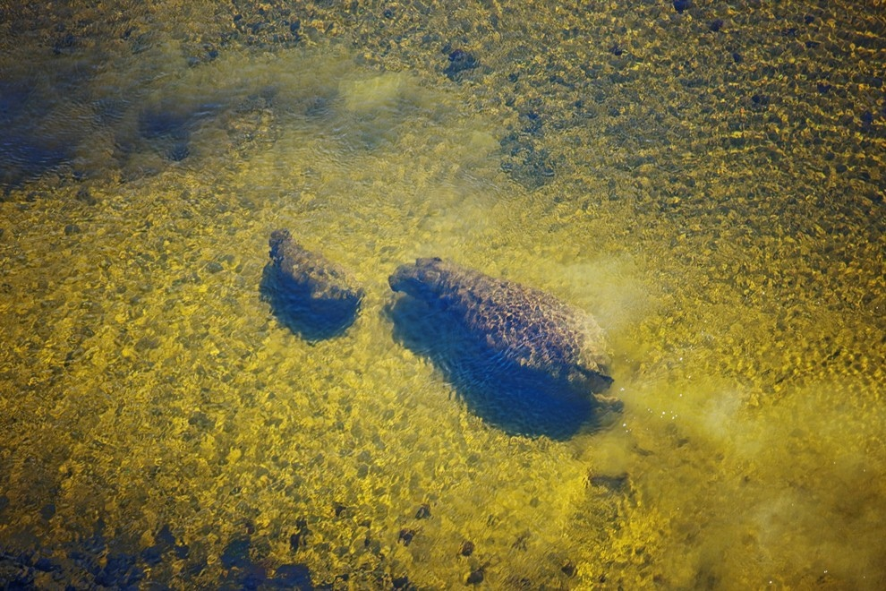 8. Самка бегемота с детенышем под водой в дельте реки Окаванго