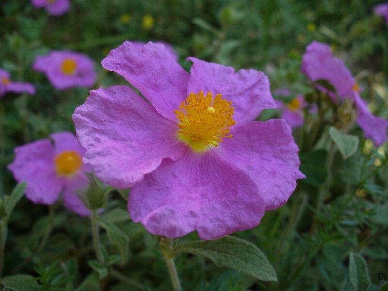 Скальная роза-Ладанник