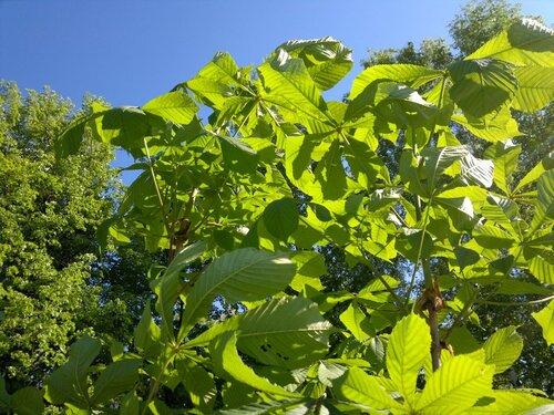 Каштан растёт 2011.05.25
