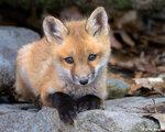 лиса,лисички,животные,рыжая лиса,