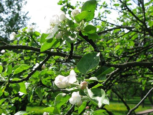 яблоня ветки