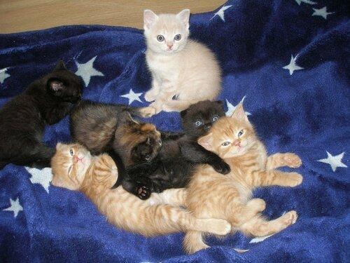 Шотландские котята 29 мая 2011