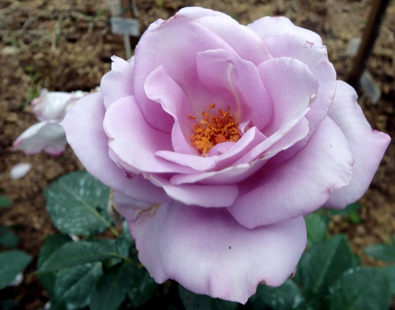 Роза чайно-гибридная Волстайм (Walztime) Delbard 19