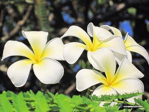 Цветок Африки
