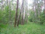 По берёзовому лесу