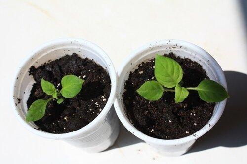 Бровалия выращивание из семян