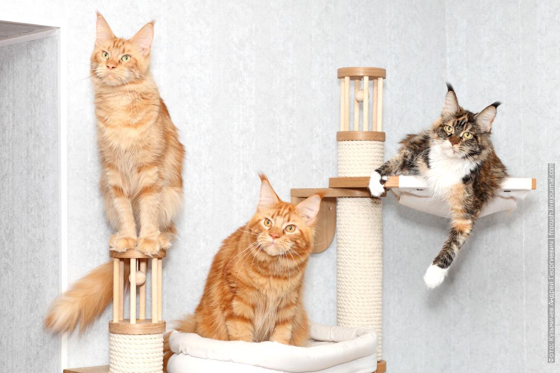коты и кошки мейн кун