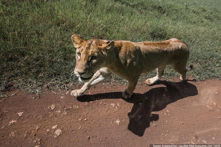 Фотографии и текст Сергея Анашкевича 1. Так выглядит погоня за львом в национальном парке Нгоро