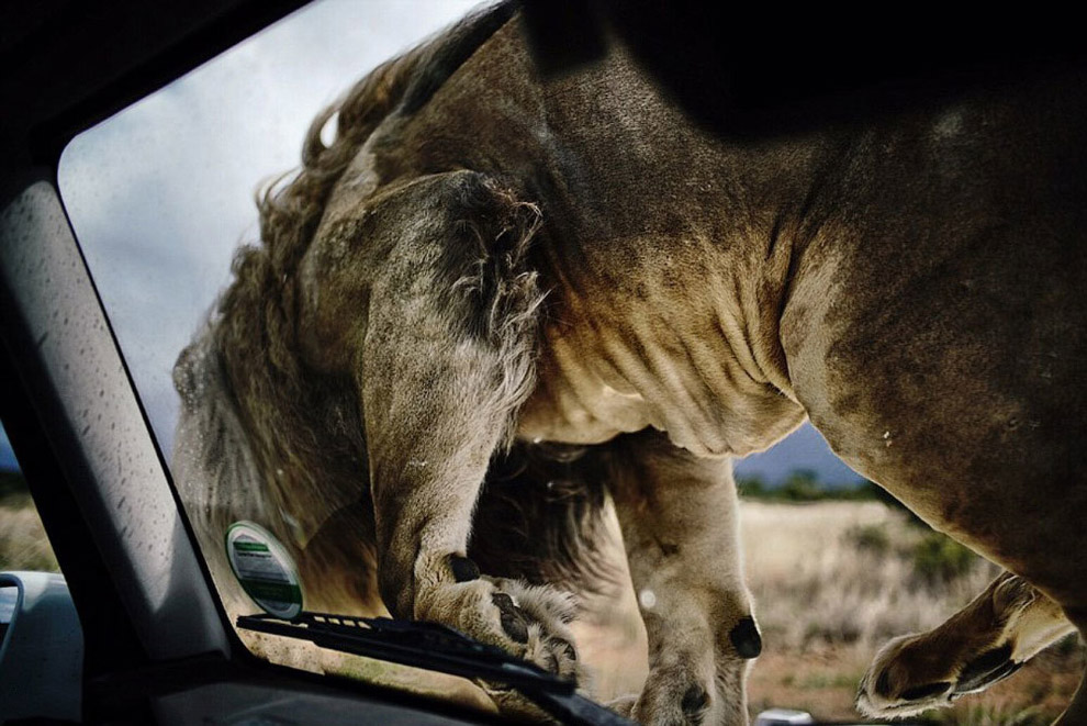 10. В этом заповеднике дикой природы в настоящее время проживает более 30 львов. (Фото Adrian S