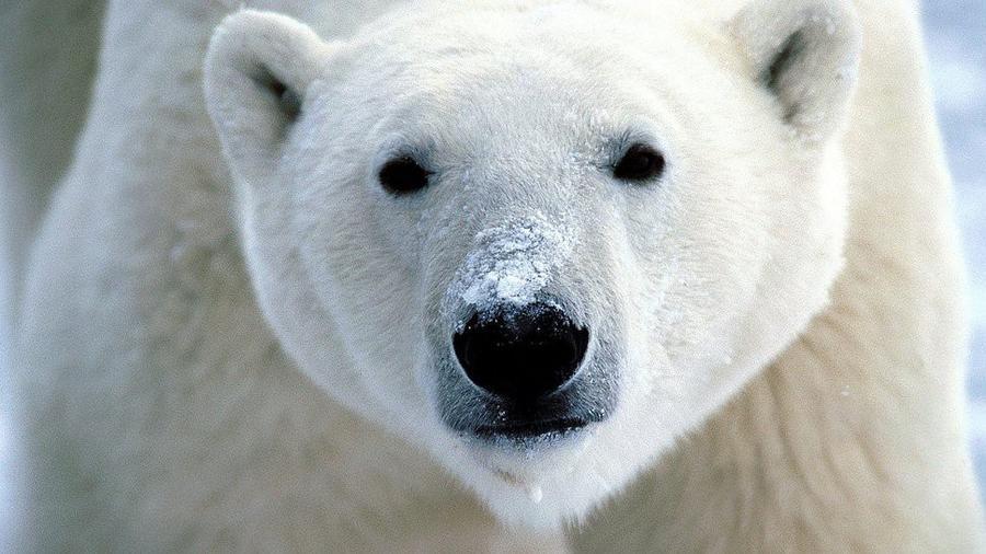 7. Белый медведь В начале этого века этого уязвимого вида насчитывалось чуть более 20 тысяч особей.