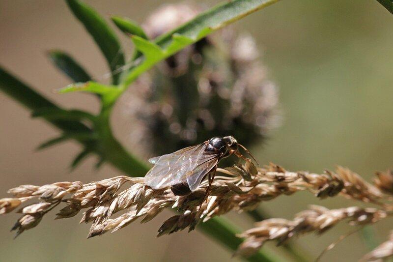 Крылатая самка муравья (муравьиная королева) готовится к брачному полёту