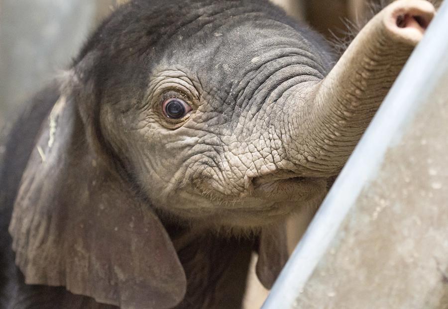 Слонёнку два дня. Вес 105 кг