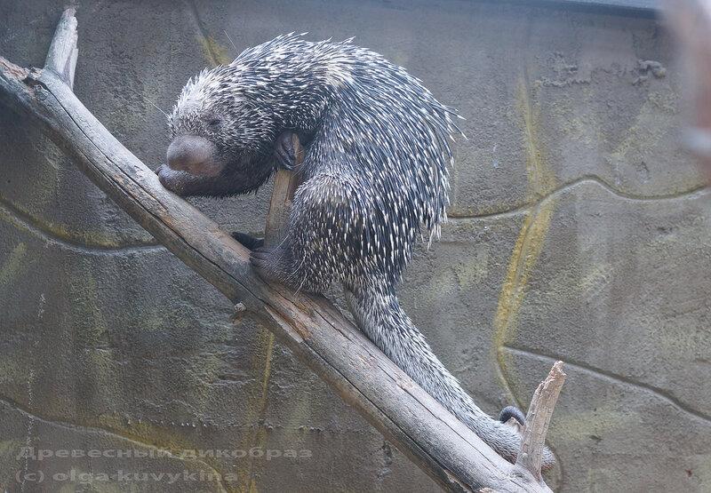 Древесный дикобраз Brazilian Porcupine