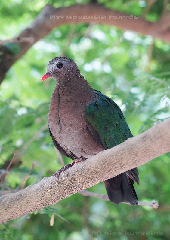 Изумрудный голубь в Парке птиц Воробьи