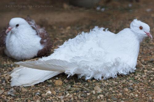 Курчавые голуби в парке птиц Воробьи