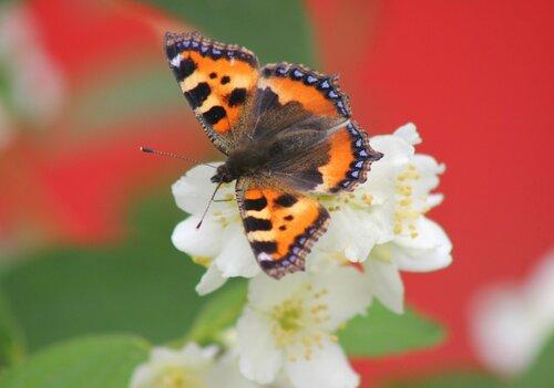 Бабочка на душистом жасмине.