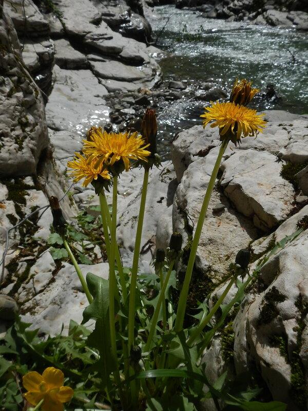 Одуванчики на реке Хоста