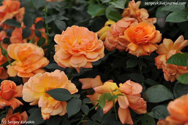 Rosa Jane Austen (4).JPG
