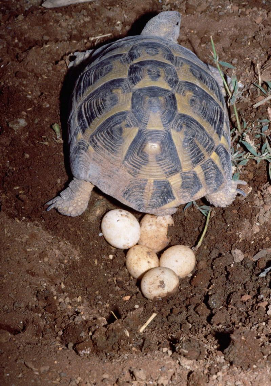 Черепаха і майбутнє потомство