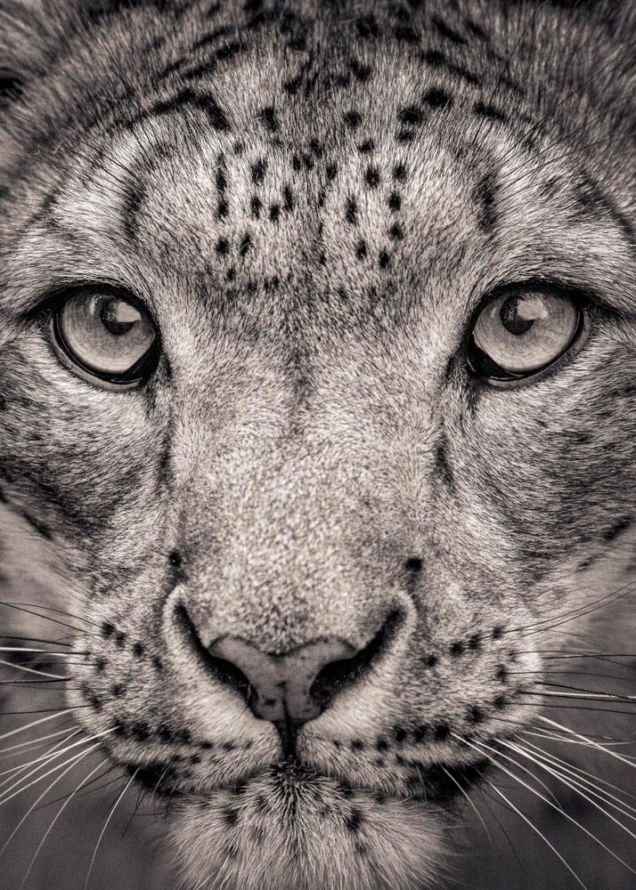 2. Белый бенгальский тигр. Популяция бенгальского тигра меньше, чем 2 500 особей, с перспективой уме