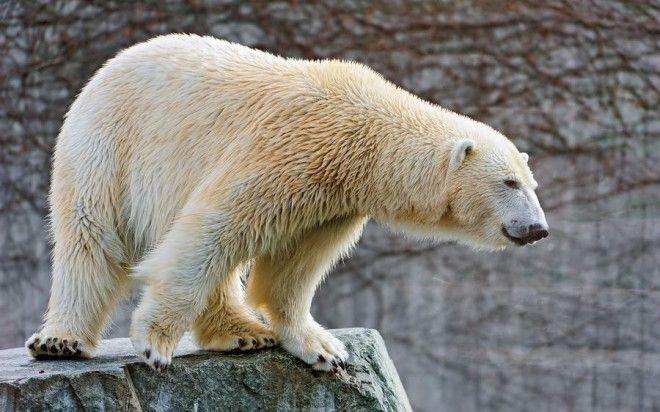 Полярный медведь Полярный медведь – один из наиболее крупных хищников, относящихся к млекопита