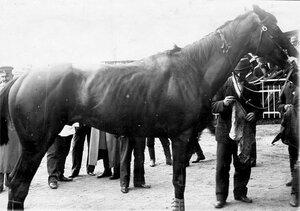 Скаковая лошадь, подготавливаемая к заезду