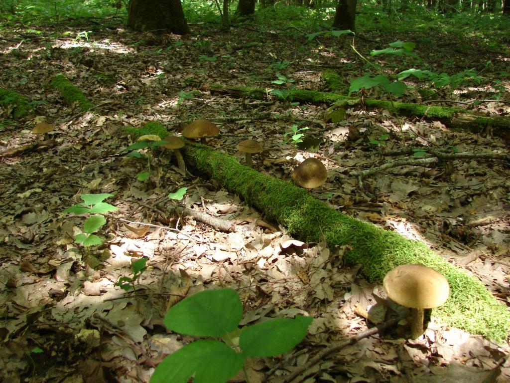 Грибная охота в лесах Кубани