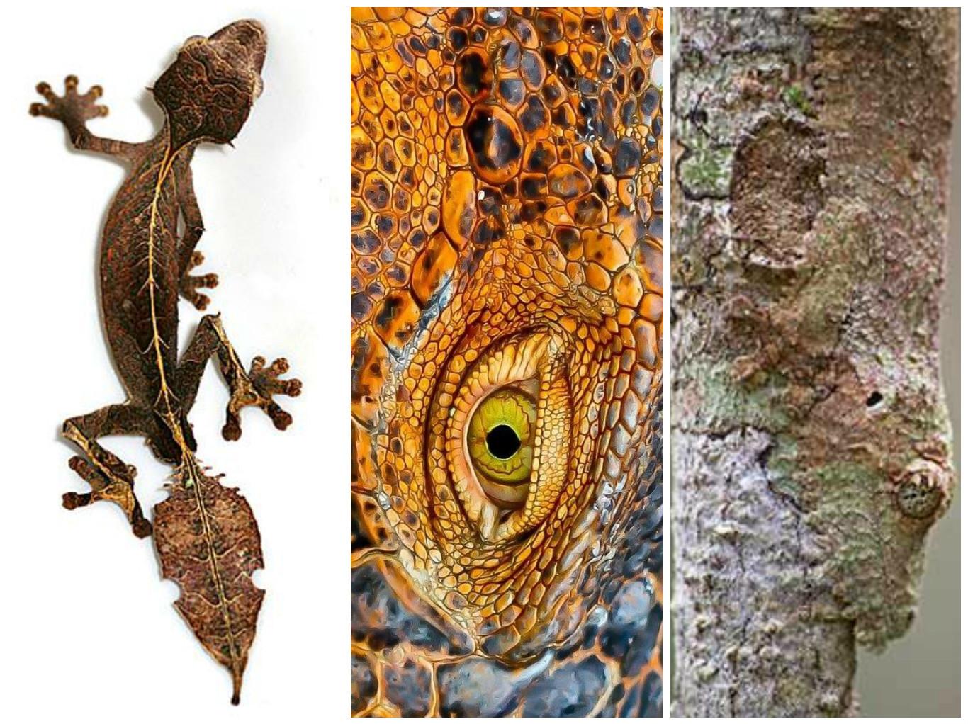 Многие виды гекконов обладают потрясающей способностью к камуфляжу — их кожа темнеет или светл
